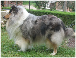 Collie azul mirlo (CH. Un'e Edelweisse of Lowlands Green Valley)